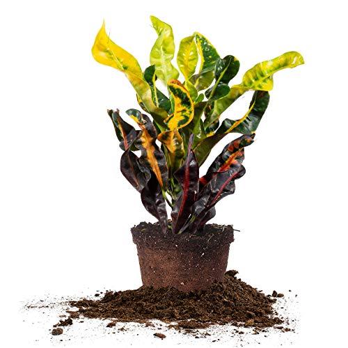 Perfect Plants Croton Mammy | Codiaeum Variegatum | Live Indoor Houseplant | Exotic Home Décor, 6in. Grower's Pot