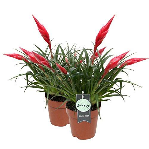 Breasy Bromelia - lot de 2 Vriesea Multiflora Astrid Red - Growers Pot ø 12 cm - Height Bromelia ? 45 cm - producteurs Hollandais - Live plante d'intérieur - directement de la pépinière
