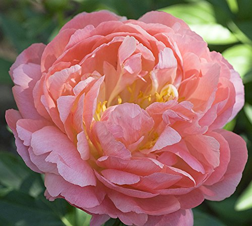 Coral Supreme Peony - Semi Double - Pre-Order for Early October Delivery