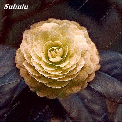 Grosses soldes! 10 Pcs Camellia Graines, Bonsai Graines de fleurs, couleur rare, Pot de bonsaïs d'intérieur / extérieur des plantes pour jardin facile à cultiver 6