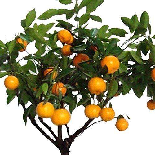Auntwhale 30pcs Graines de citrus orange en pot