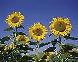 mymotto Blumensamen - 20/50 Samen Sonnenblume - Titan F1 (Helianthus annuus) für Zaun & Garten (SVC032393_50)