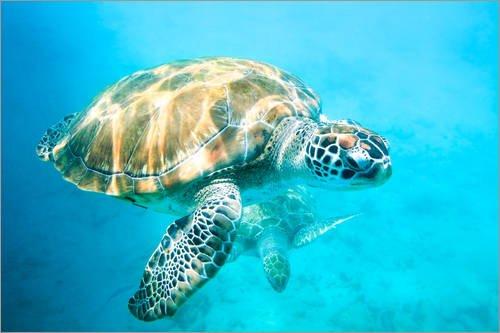 Posterlounge Acrylglasbild 90 x 60 cm: Meeresschildkröten unter Wasser von Matteo Colombo - Wandbild, Acryl Glasbild, Druck auf Acryl Glas Bild