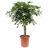 Plante d'intérieur de Hellogreen - Arbre à doigts Schefflera Arboricola - Hauteur : 80cm