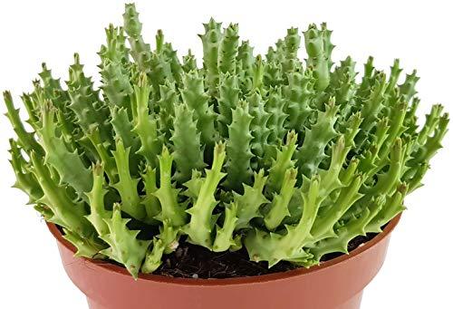 Fangblatt - Stapelia variegata - groß blühende Aasblume - außergewöhnliche Sukkulente - geeignet für die Bepflanzung von Terrarien - pflegeleichte Zimmerpflanze