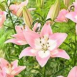 5x Lilium asiaticum'Levi' | 5er Set Asiatische Lilien Zwiebeln Winterhart | Rosa Blüte | Blumenzwiebeln mehrjährig | Ø...