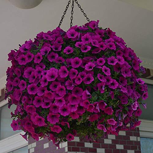 B/H mehrjährig winterhart Samen,Samen für Ihr Garten Balkon,Hängende Petunien Samen Blumensamen Innenbalkon Topfpflanzen-lila_100pcs