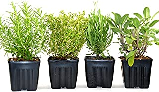 Organic Herbs De Provence Collection Rosemary, Lavender, Sage, Thyme 4 Live Plants
