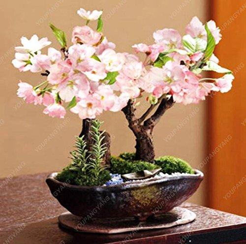 10pcs/sac Japon Mini sakura Graines rose cerise fleur couleur Sakura graines se développent facilement bonsaï, plante jardin pot vert