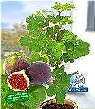 BALDUR-Garten Frucht-Feige'Rouge de Bordeaux' im 9 cm Topf, 1 Pflanze Ficus carica Feigenbaum