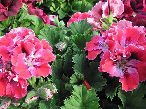 YYone 500 Piece Wooden Jigsaw Puzzle Geranium Flowers in my Garden 125 Large Puzzle Game for Adults and Teenagers