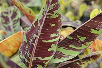 (1 Gallon) Zebrina rojo banana- Beautiful ornamental foliage. Produces red-splashes over green foliag with purple to red undersides. Orange fruits are produced once the flowers are finished producing.