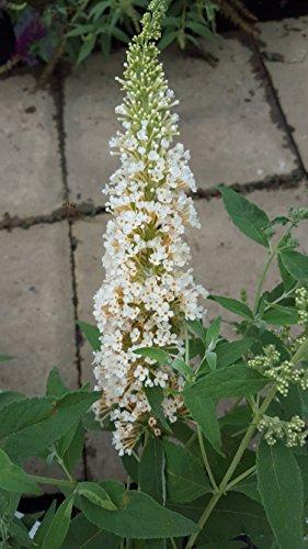 Zwerg - Schmetterlingsstrauch Buddleja Buzz Ivory 30 - 40 cm im 3 Liter Pflanzcontaier