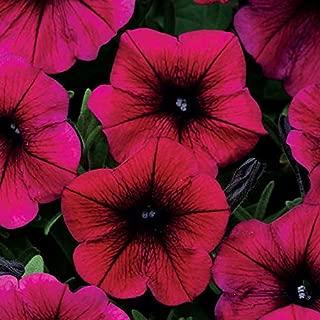 Park Seed Shock Wave Deep Purple Petunia Seeds