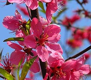 Japanese Apricot Chinese Plum Seeds 5+, Prunus Mume, Tree Seeds Mume Winter Sweet Flower Tree bonsais for Home Garden Planting