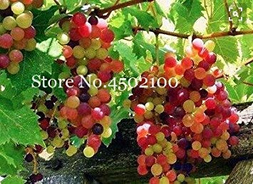 Shopvise 50 Pcs Divers raisin, fruits avancée Sweet Seeds Croissance Doux Naturel Raisin Flores Kyoho Raisin Gardening Fruit Graines: 18