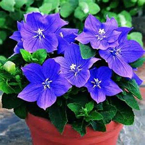 25 Samen der blauen Ballon-Blume! Hardy Schöner Staude