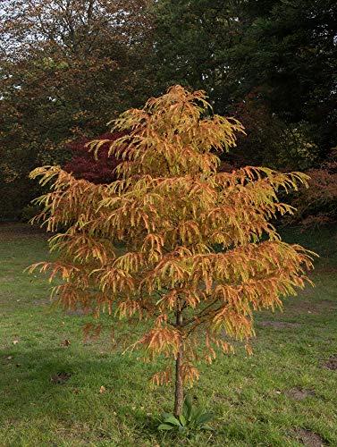 Urwelt Mammutbaum 10 Samen- Metasequoia glyptostroboides- Bonsai/garten