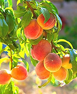 (Package of 2 Plants) Contender Peach Trees, (5 Gallon) Semi- Dwarf, Cold Hardy-for temperatures Below 0. Medium Size Fruit. Ripens in Mid to Late August. Self-Pollinating. Bare-Root, Grafted Plant
