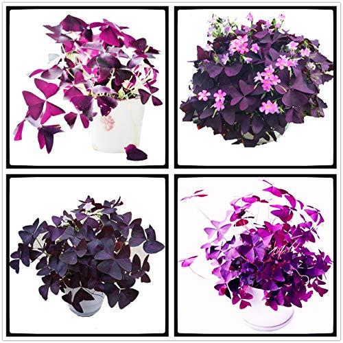 Bulbos de Acedera de Madera Alazán Planta,Decoración,Floración,Colores Brillantes, Meciéndose En El Viento,Flores Exóticas-5 Bulbos,2