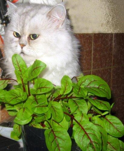 Blutampfer - Rumex sanguineus - Sauerampfer - Ampfer - 200 Samen