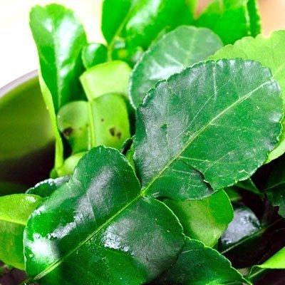 Fresh Kaffir Lime Leaves (Thai Lime Leaves) 1 Oz. ใบมะกรูด,