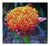 Scadoxus puniceus - gefleckte Blutblume - 3 Samen