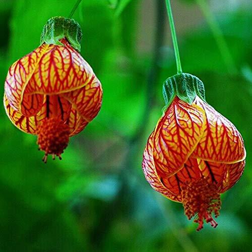 Oce180anYLVUK Abutilon Pictum Seeds, 100...