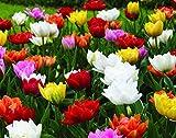 Double Tulip Mixture- 30 Perennial Tulip Bulbs