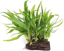 Java Fern Planted on Driftwood - Easy Low Light Aquatic Plant