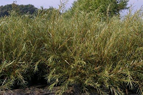 Baumschule Pflanzenvielfalt Rosmarinweide - Lavendelweide - Salix rosmarinifolia