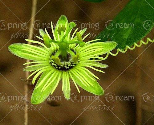5pcs Passiflore (Passiflora incarnata), plantes Passion fruits exotiques Graines grenadille pour le jardin à la maison 8