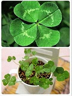Lucky 100pcs Four Leaf Clover Grass Seeds Decoration Grow own Luck Home Garden