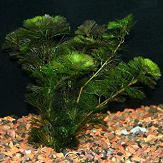 Mamay Sumarna 65 Green Cabomba Live Aquarium Plants aquascaping Planted Tank Pond Beginer, Water Temperature Tropical