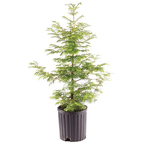 Brussel's Bonsai Live Dawn Redwood Outdoor Bonsai Tree - 5 Years Old 16' to 20' Tall with Plastic Grower Pot, X Large,