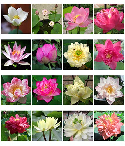 Bonsai Lotus Seeds,Water Lily Flower Plant,50PCS Finest Viable Aquatic Water Features Seeds,Home Garden Yard Decor (Mixed Color-50)
