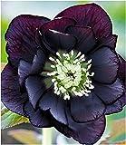 BALDUR Garten Gefüllte Christrose Black Swan 1 Pflanze Helleborus