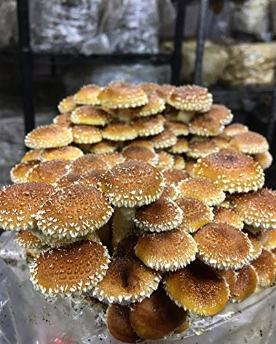 100 Chestnut Mushroom Spawn Plugs/Dowels to Inoculate Logs or Stumps to Grow Gourmet and Medicinal Mushrooms - Grown Your Own Mushrooms for Years to Come - Makes a Perfect Gift or a Project