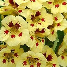 Outsidepride Tropaeolum Nasturtium Ladybird Vine & Plant Flower Seeds - 200 Seeds
