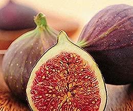 2.5 Inch Live Plant Hardy Fig Gruit Tree 'Magnolia' Live Plant aka Madonna, Dalmatia, Brunswick - WSR911