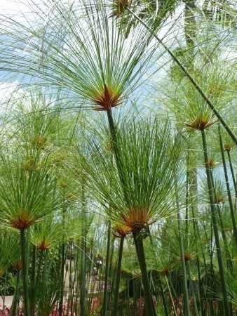 Tropica - Wasserpflanzen - Ägyptische...