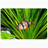 Alfombrilla de baño Acuario colorido Tigre Barb Sumatra Peces Animales Vida silvestre Naturaleza Mascota Rojo Ojo de barbus Pequeñas aletas Alfombras de baño de felpa decorativas Alfombras Decoración