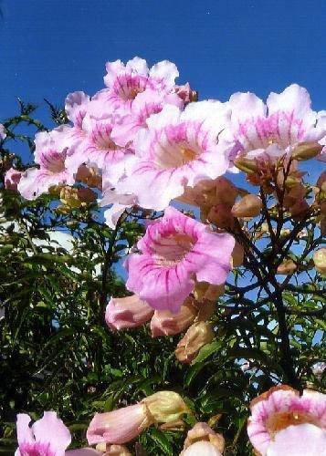 TROPICA - Rosa Trompetenblume (Tecoma stans) - 150 Samen