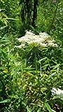 go garden queen anne' s lace (daucus carota), carota selvatica, beyond organic, 100semi