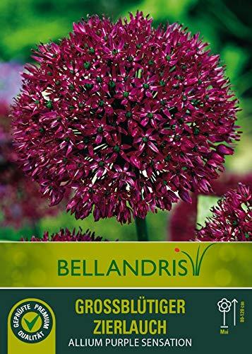 mgc24® Großblütiger Zierlauch Allium Purple Sensation - 5 Blumenzwiebeln (ca. 10-11mm)