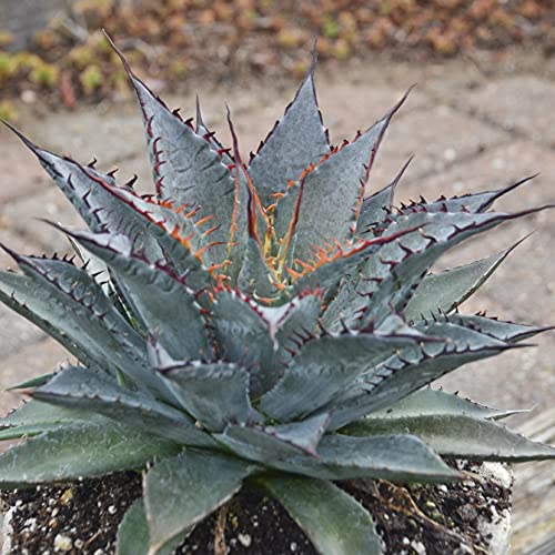 1 Tooth Fairy Mangave Starter Plant | Hybrid Agave Manfreda | Great Hooked Teeth Plant