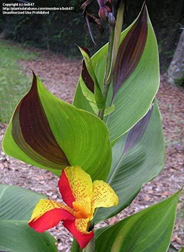 Green Seeds Co. 20 Pcs/Sac Canna Bonsaï Plantes en pot bricolage intérieur * BONSAI extérieur Bonsaï Taux de germination de 95% de couleurs mélangées Fleurs de jardin: Clair