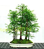 RETS Bonsai 100 pcs Dawn Redwood Bonsai Grove - Metasequoia glyptostroboides,Home Gardening Best Gift for Kids