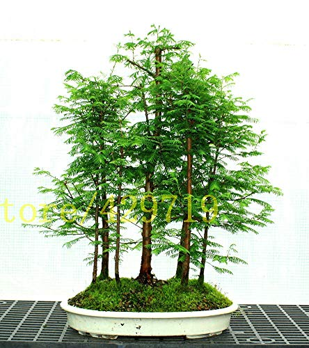 RETS Bonsai 100 pcs Dawn Redwood Bonsai Grove - Metasequoia glyptostroboides,Home Gardening Best Gift for Kids