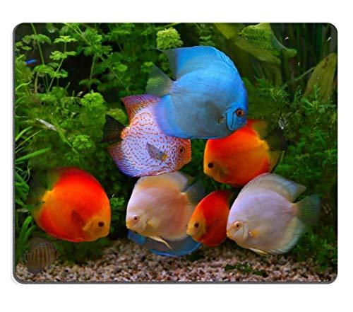 Mauspad Naturkautschuk Mousepad Bild-ID: 27264117 Discus Symphysodon Mehrfarbige Buntbarsche im Aquarium Der Süßwasserfisch stammt aus dem Amazonasbecken
